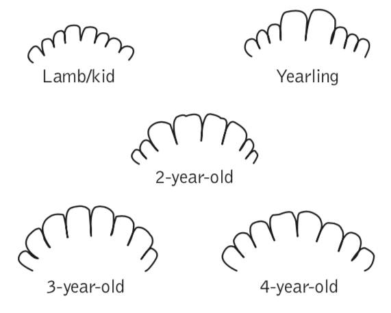 Figure 7. Approximate age of a goat based on its teeth size and shape