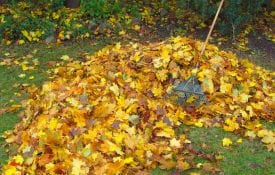 A pile of raked fallen colored Maple leaves on the ground.
