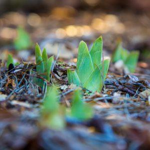 Iris flower seedlings emerging
