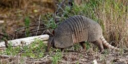 An armadillo forages along a road in the Laguna Atacosa National Wildlife Refuge in Texas.