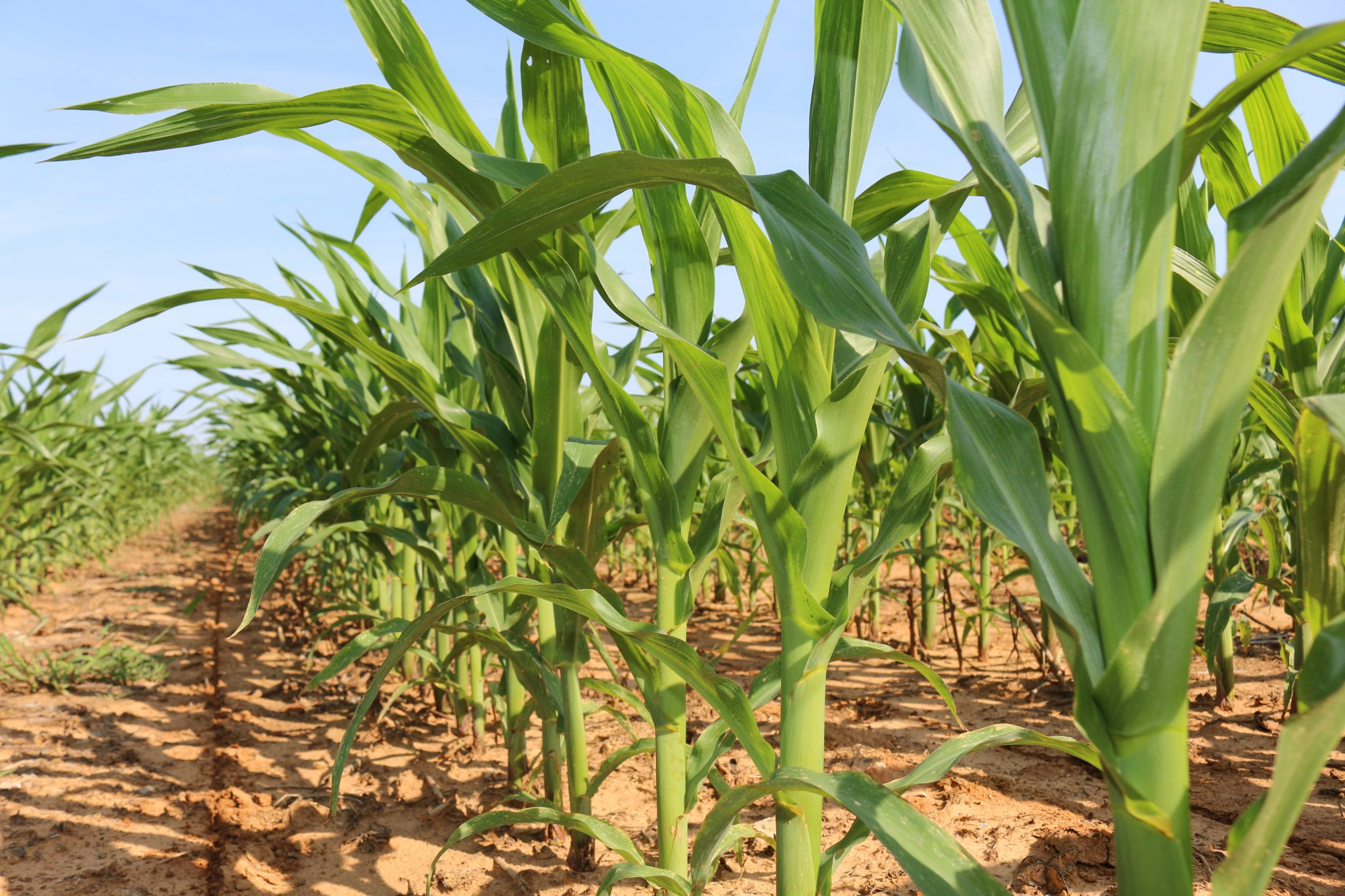 corn plants, market facilitation program
