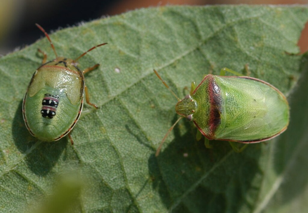 Red Banded Stink Bugs