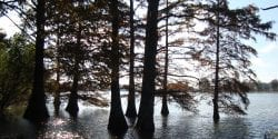 Cypress trees along Alabama River