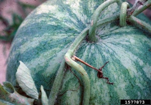 Watermelon tendril