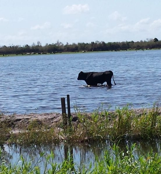 A bull standing in flooded field
