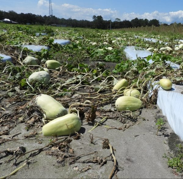 Decaying winter squash field on plastic after flood
