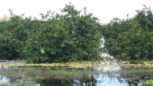 A flooded orange grove with lots of oranges visible.