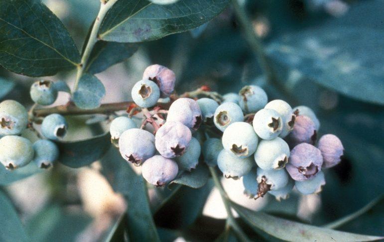 Mummyberry