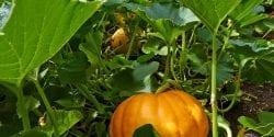 Pumpkins growing in a garden.