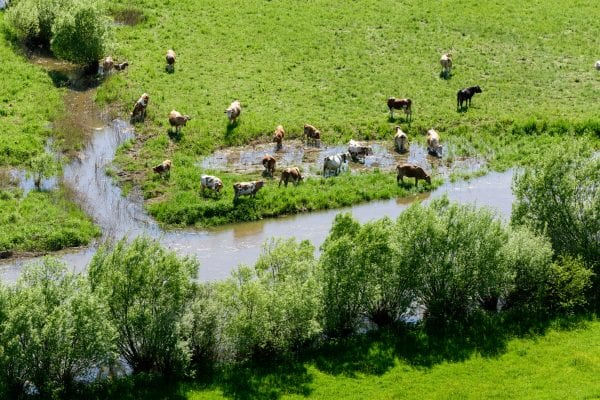 Cattle standing in a flooded field.