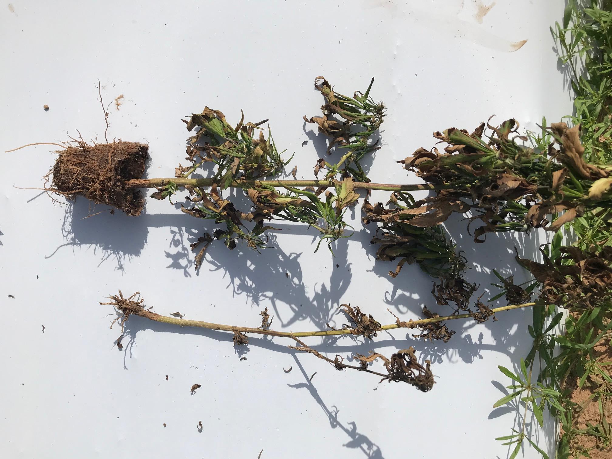 fire ant damage in hemp