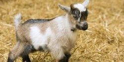 Dairy goat kid