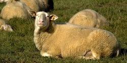 East Friesian Sheep