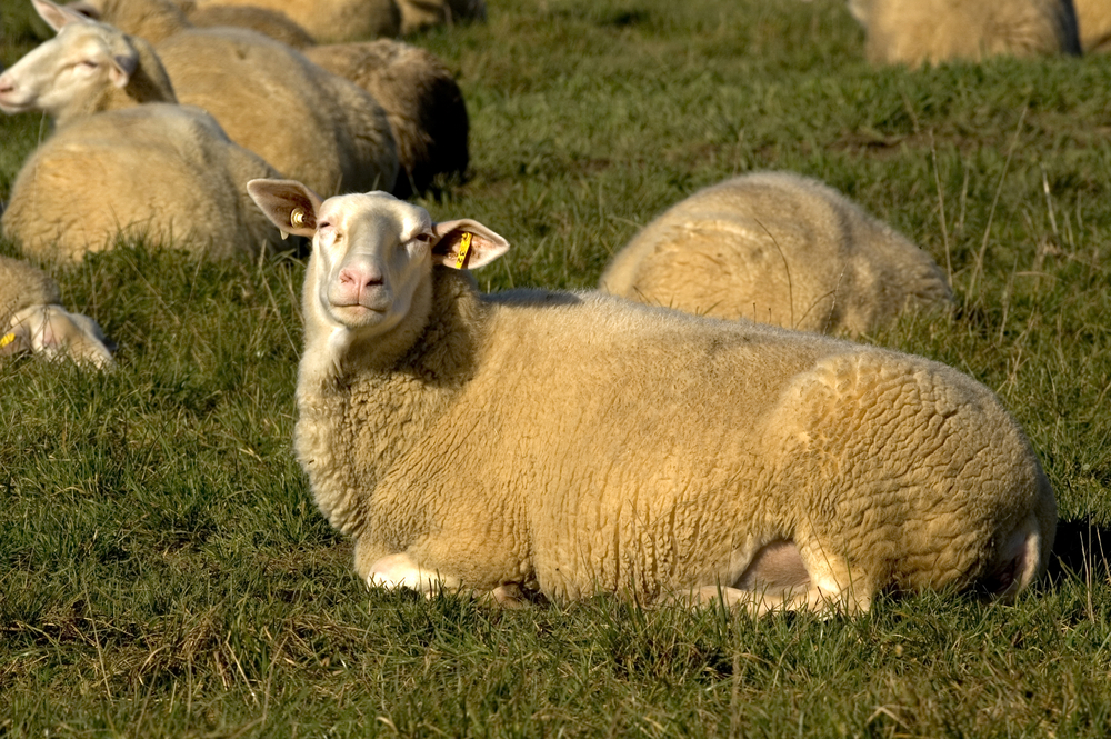 East Friesian Sheep