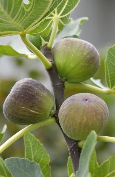 Ripe figs on a tree