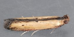 Lesser Cornstalk Borer Moth Female