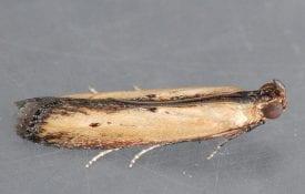 Lesser Cornstalk Borer Moth Female
