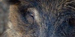 Wild Pig Close up of head