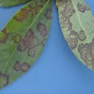 BNRBV on blueberry leaves