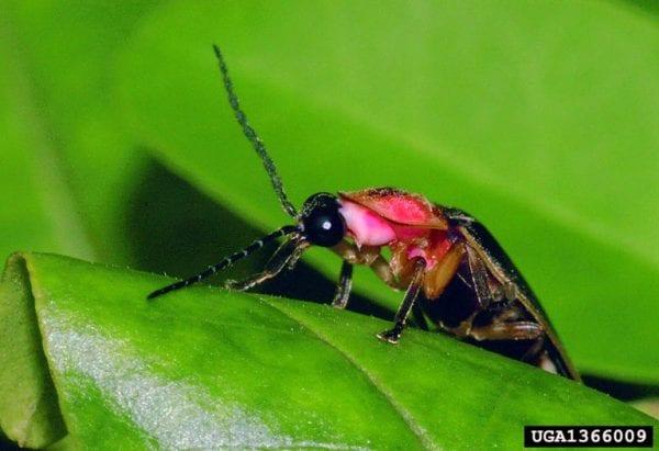 Lightning bug sitting on a leaf