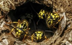 yellow jacket ground nest