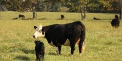 Black baldy cow with her calf