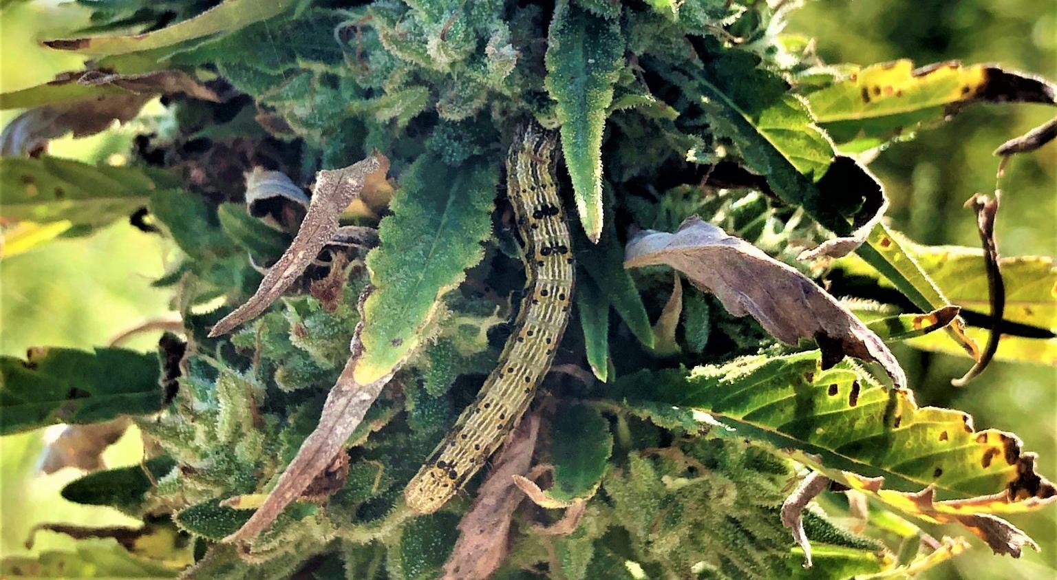 Corn earworm in hemp flower