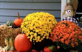 Mums with fall decorations