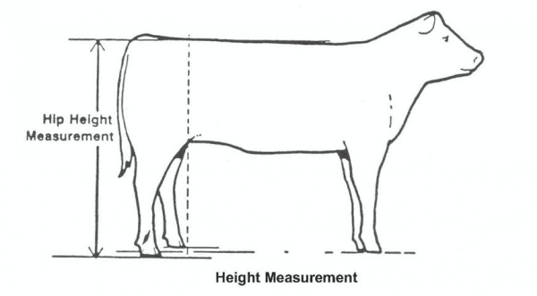 Figure 1. Measuring hip height to determine frame score (source: Guidelines for Uniform Beef Improvement Programs, 9th edition. Beef Improvement Federation. Revised March 2018. www.beefimprovement.org)