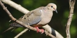 Mourning doves are one of the most widely distributed bird species in North America.