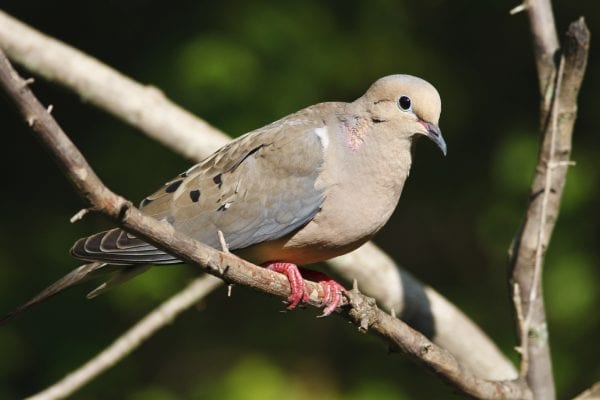 Figure 1. Mourning doves are one of the most widely distributed bird species in North America.