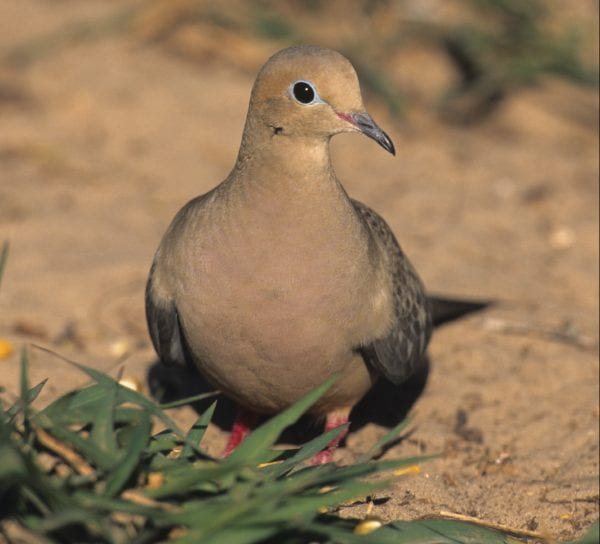 mourning dove on open ground