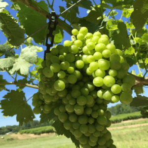 Figure 4. Ripening cluster size, 2019.