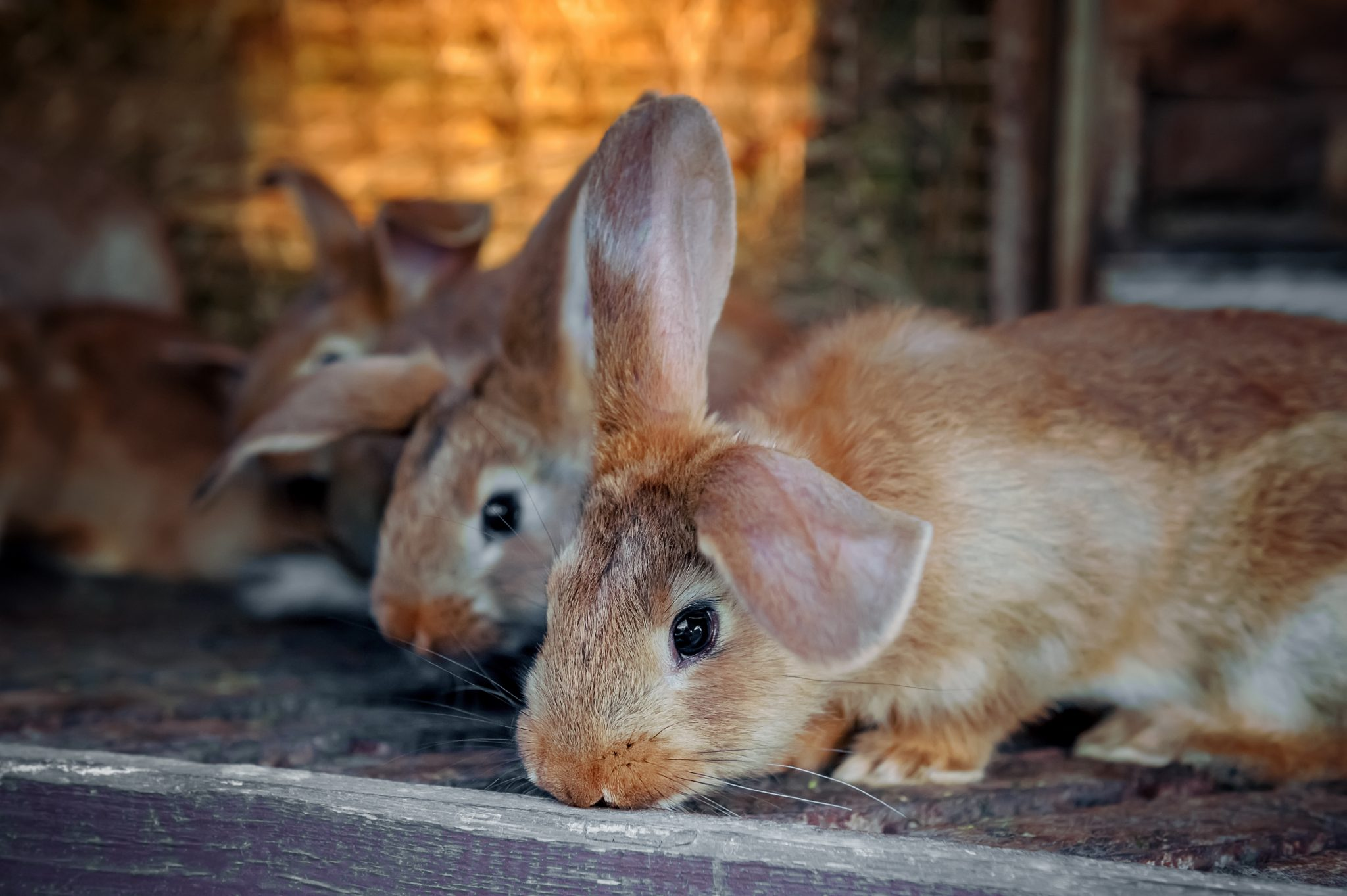 Rabbits on rabbit farm