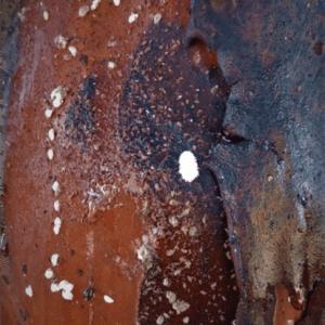 Larva of mealybug.