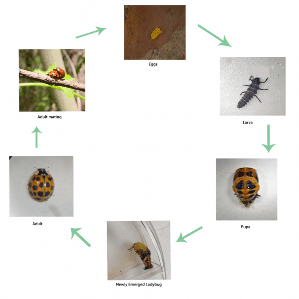 Lifecycle of the Multicolored Asian Ladybeetle