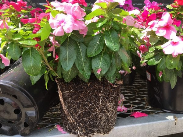 A healthy annual plant has white tipped roots that reach the edge of the pot without being pot bound