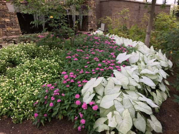 A partial shad garden is brightened using a pink and white color scheme, including pentas, caladium, and wishbone flower.