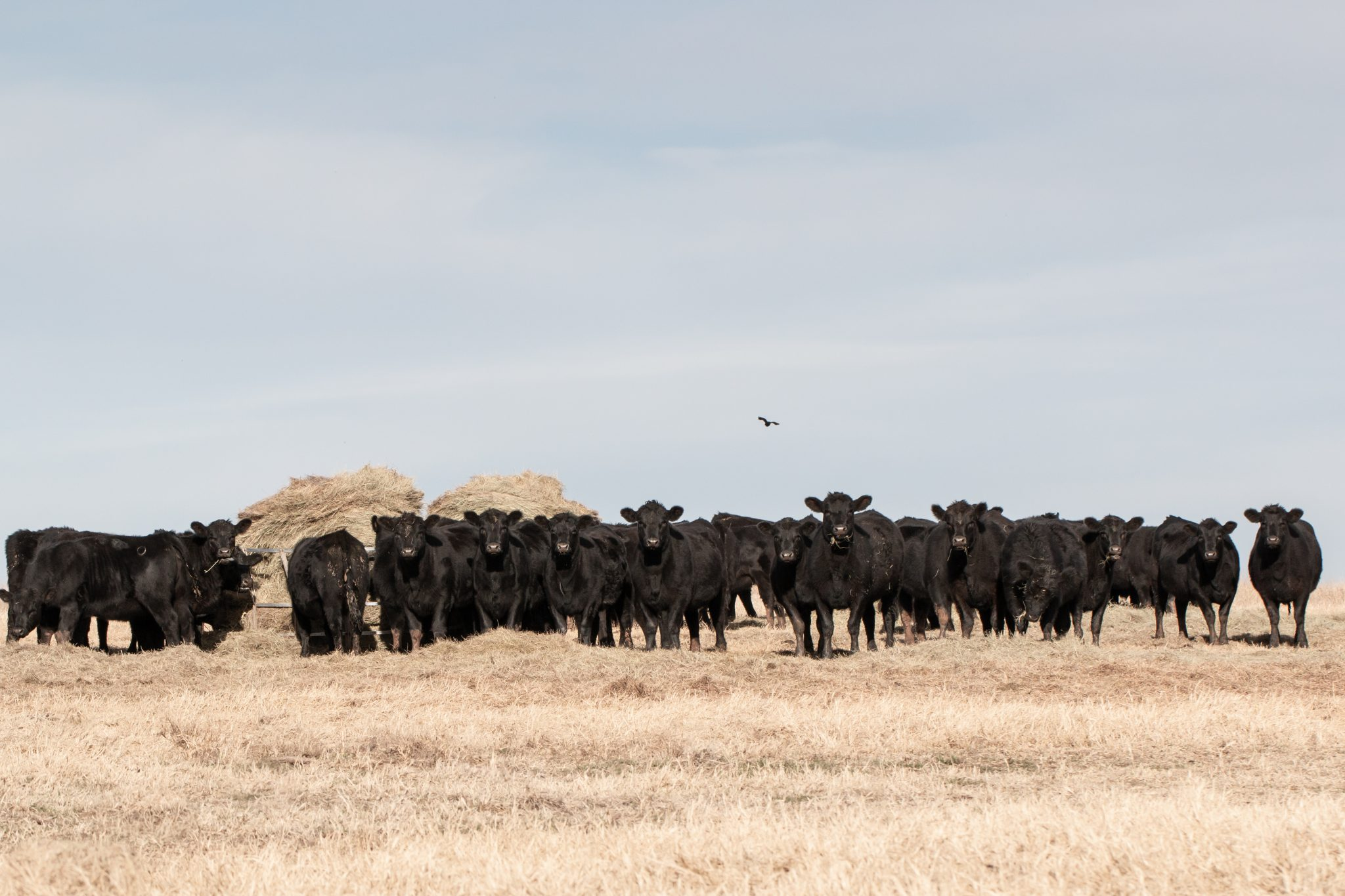 Cattle eating hay in drought