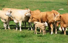 crossbreed beef cows and calves