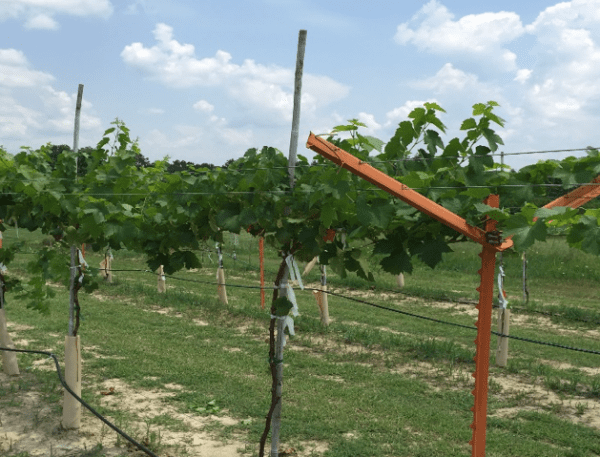 Figure 1. PD resistant 94% Vitis vinifera selection '502-20' trained to a Watson system grown at the CREC, Clanton, AL.