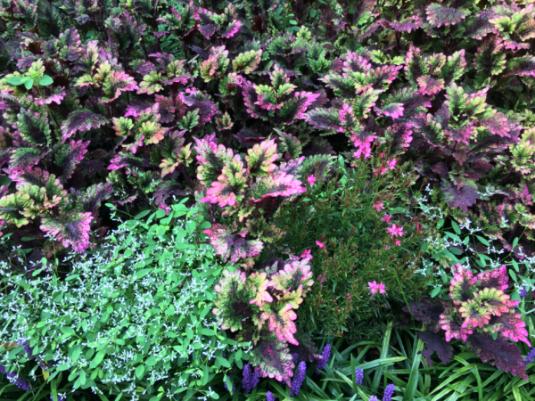 Pink and purple annuals of various heights make an interesting composition