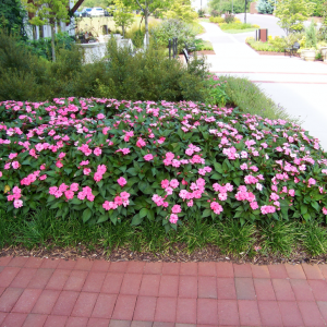 Figure 5. Bright pink New Guinea impatiens draw the eye to the entryway of a building.