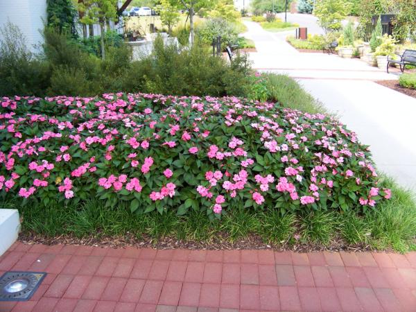 Bright pink New Guinea impatiens
