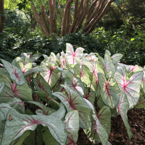 Figure 6. Caladiums can add a bright spot of color to shady areas.