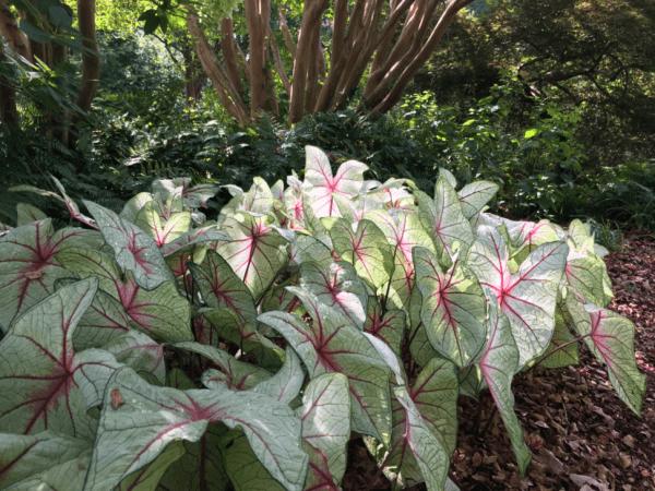 White leafed Caladiums