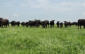 Cattle Grazing Bahiagrass