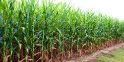 Corn field on farm in southern Alabama.