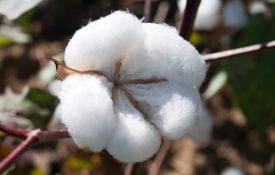 close up image of cotton plant, cotton pest