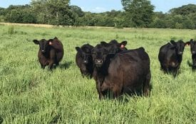 Beef Heifers Grazing Native-Warm Season Grasses